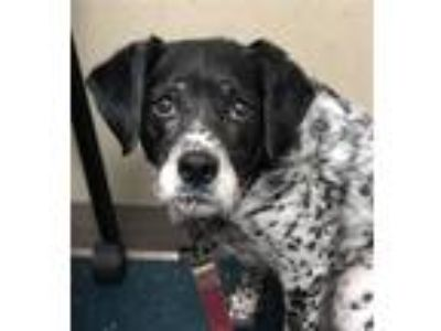 Adopt Zoey a Australian Cattle Dog / Pointer / Mixed dog in Oceanside