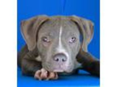 Adopt Elvis a Gray/Silver/Salt & Pepper - with White Pit Bull Terrier / Mixed