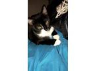 Adopt Oreo a Black & White or Tuxedo Manx / Mixed cat in Brooklyn, NY (24618692)