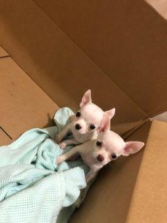 Chihuahua PUPPY FOR SALE ADN-94512 - White Apple head chihuahuas