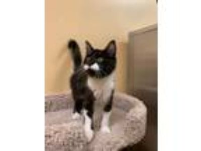 Adopt Wally a Black & White or Tuxedo Domestic Shorthair (short coat) cat in