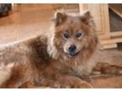 Adopt Red a Red/Golden/Orange/Chestnut Chow Chow / Mixed dog in San Diego