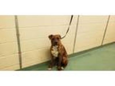 Adopt BAXTER a Brindle - with White Mixed Breed (Medium) / Mixed dog in Memphis