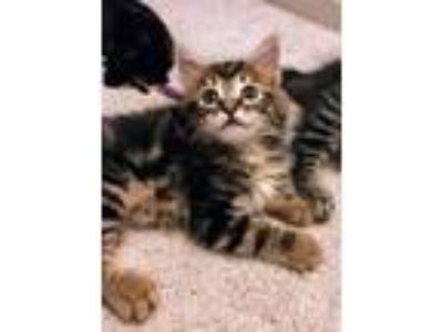 Adopt Peter Porker a Tan or Fawn Tabby Maine Coon (medium coat) cat in Atlanta