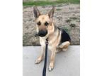 Adopt Jones a German Shepherd Dog