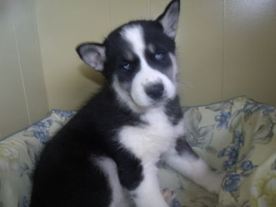Siberian Husky PUPPY FOR SALE ADN-62673 - triton