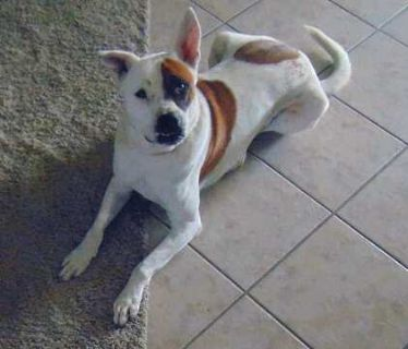 American Bulldog-Border Collie Mix DOG FOR ADOPTION ADN-109408 - Border Collie Am Bdog mix Dog  Adopt  Houston  TX