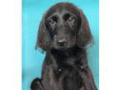 Adopt Rory a Black Labrador Retriever / Poodle (Standard) / Mixed dog in