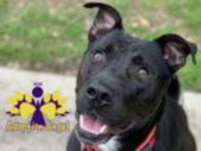 Adopt Joel a Black American Pit Bull Terrier / Mixed dog in Georgetown