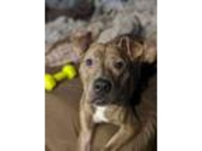Adopt Cedric a Pit Bull Terrier, Mixed Breed