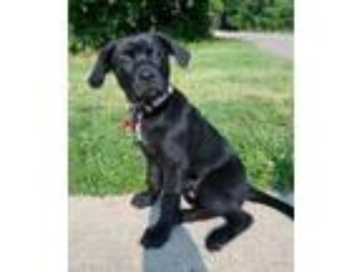 Adopt Columbia Supremo a Boxer / Labrador Retriever / Mixed dog in Grafton