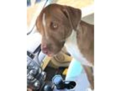 Adopt Lubbock a Brown/Chocolate - with White Golden Retriever / American Pit