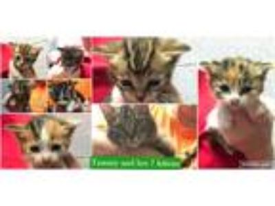 Adopt Tammy & her 7 kitens a Gray, Blue or Silver Tabby Domestic Mediumhair