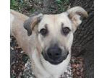 Adopt Leia a Tan/Yellow/Fawn Hound (Unknown Type) / German Shepherd Dog / Mixed