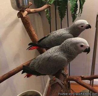 ghba,African grey congo babies