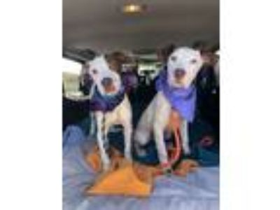 Adopt Halsey and Kennedy a Pit Bull Terrier, Hound