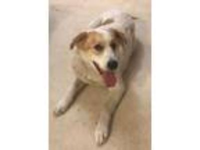 Adopt Harley a White - with Brown or Chocolate Anatolian Shepherd / Great