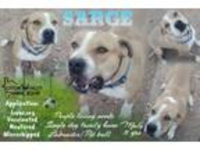Adopt SARGE a Pit Bull Terrier, Bull Terrier