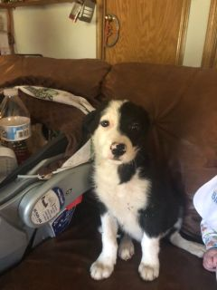 Border collie pups ready to go has papers