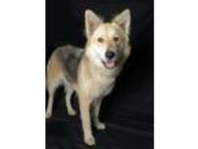 Adopt Nia a Black - with Tan, Yellow or Fawn Husky / Shepherd (Unknown Type) /