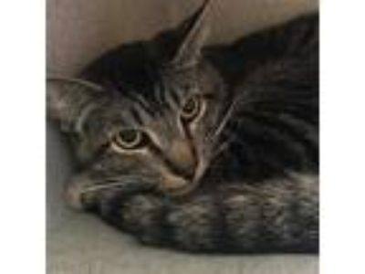 Adopt Abel (mcas) a Domestic Shorthair / Mixed cat in Troutdale, OR (25322701)