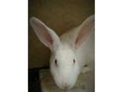 Adopt Daisy a White American / American / Mixed rabbit in West Des Moines