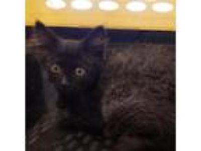 Adopt Titus a All Black Domestic Longhair / Domestic Shorthair / Mixed cat in