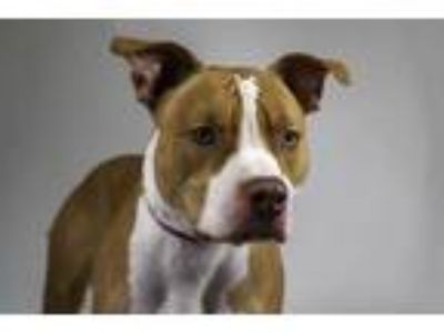 Adopt JAMIE a Tan/Yellow/Fawn - with White American Pit Bull Terrier / Mixed dog