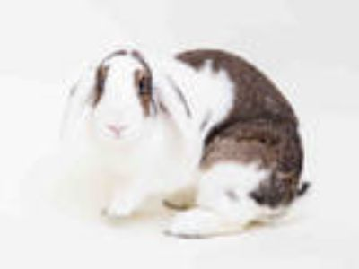 Adopt MARYGOLD a Black Other/Unknown / Mixed rabbit in San Francisco