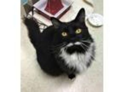 Adopt Si a Black & White or Tuxedo Domestic Longhair / Mixed (long coat) cat in