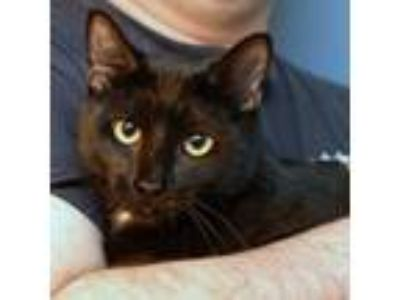 Adopt Raven a All Black Domestic Shorthair / Mixed cat in Palatine