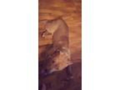 Adopt Dozer a Tan/Yellow/Fawn Hound (Unknown Type) / Hound (Unknown Type) /