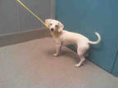 Adopt *CHIEF a White - with Tan, Yellow or Fawn Dachshund / Beagle / Mixed dog