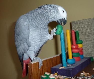 Available male and female African Grey Parrots for sale