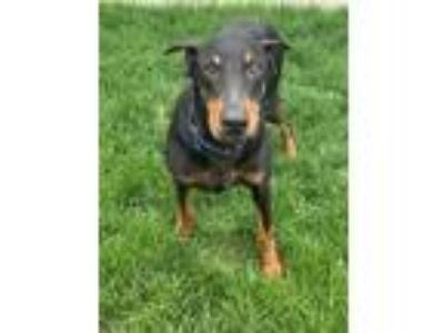 Adopt Matt a Doberman Pinscher