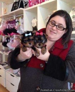 1 female Yorkie/Schnauzer puppies