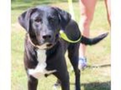 Adopt Leo a Black Labrador Retriever / Mixed dog in Enterprise, AL (18666453)