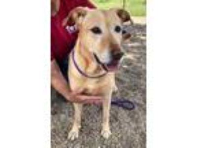 Adopt India a Red/Golden/Orange/Chestnut Labrador Retriever / Mixed dog in