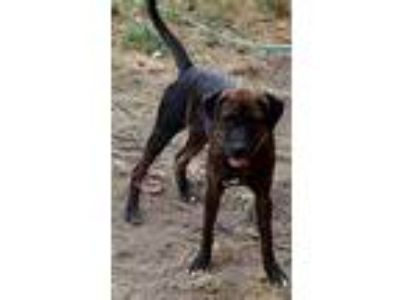 Adopt Becky a Brindle Boxer / Labrador Retriever / Mixed dog in Mansfield