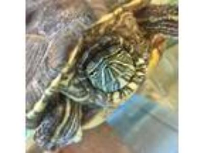 Adopt Mercutio a Turtle - Other reptile, amphibian, and/or fish in Fairport