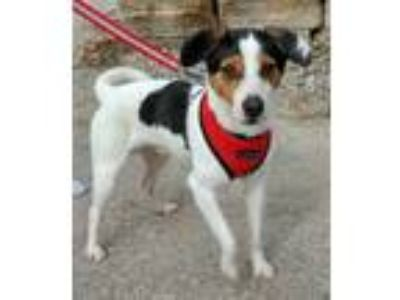 Adopt Toby a Jack Russell Terrier
