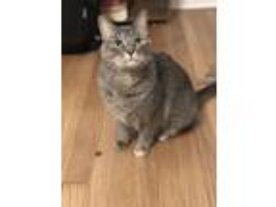 Adopt Penny a Gray or Blue Domestic Mediumhair cat in Ferndale, MI (24853536)