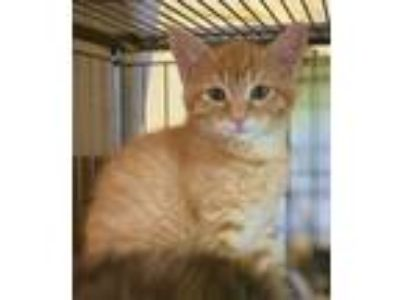 Adopt Ygritte (Coming Soon) a American Shorthair