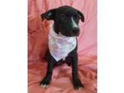 Adopt WHISKEY a Black - with White Labrador Retriever / Mixed dog in Houston