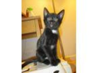 Adopt Brock Star a Domestic Short Hair
