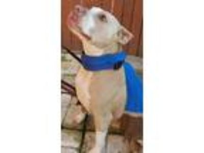 Adopt Snapper a Pit Bull Terrier
