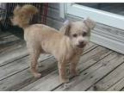 Adopt Courtney a Poodle