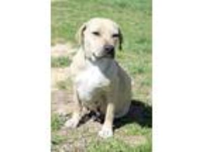Adopt Crimson a Tan/Yellow/Fawn Hound (Unknown Type) / Pit Bull Terrier / Mixed
