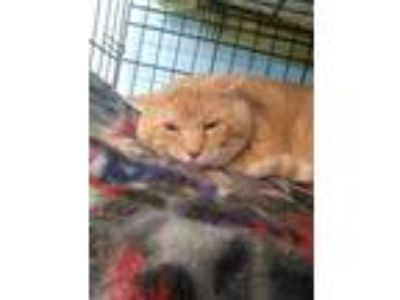 Adopt Homer a Orange or Red Domestic Shorthair / Domestic Shorthair / Mixed cat
