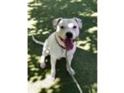 Adopt COLEMAN a Pit Bull Terrier